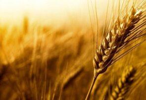 پیش بینی خرید تضمینی ۱۰ میلیون تن گندم در کشور