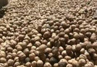 کشف۱٫۲ تن گردوی قاچاق در بناب