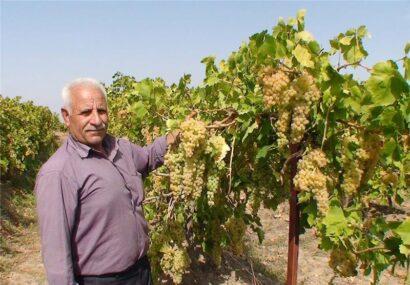 برداشت ۲۷۳ هزار تن انگور از تاکستانهای آذربایجانشرقی