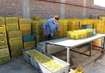 تولید ۴۰ هزار تن کشمش در سطح شهرستان بناب