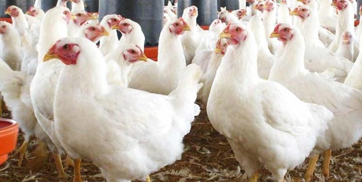 آخرین وضعیت تامین نهادههای دامی/ اجرای طرح تولید مرغ سایز در آذربایجانشرقی