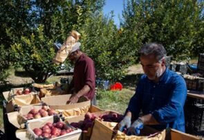 حال و هوای برداشت سیب در مراغه