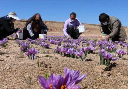 تولید ۱۴۰۰ کیلوگرم زعفران خشک در آذربایجانشرقی/ تولید ۹۰ درصد زعفران دنیا در ایران
