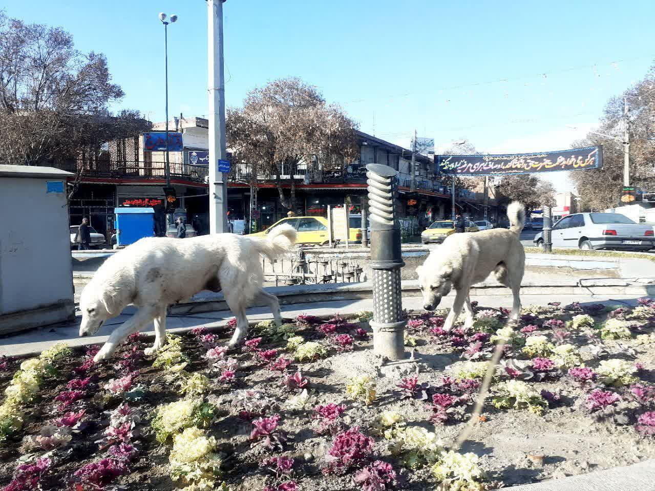 ضرورت ساماندهی سگ های خیابانی در بناب بیش از گذشته احساس می شود / مردم از شهرداری به عنوان متولی اصلی این کار انتظار دادند