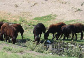 چرای گوسفندان از اراضی آلوده به فاضلاب انسانی در شهرستان بناب / ضرورت توجه صاحبان دام ها به عواقب این چرای خطرناک..+تصاویر