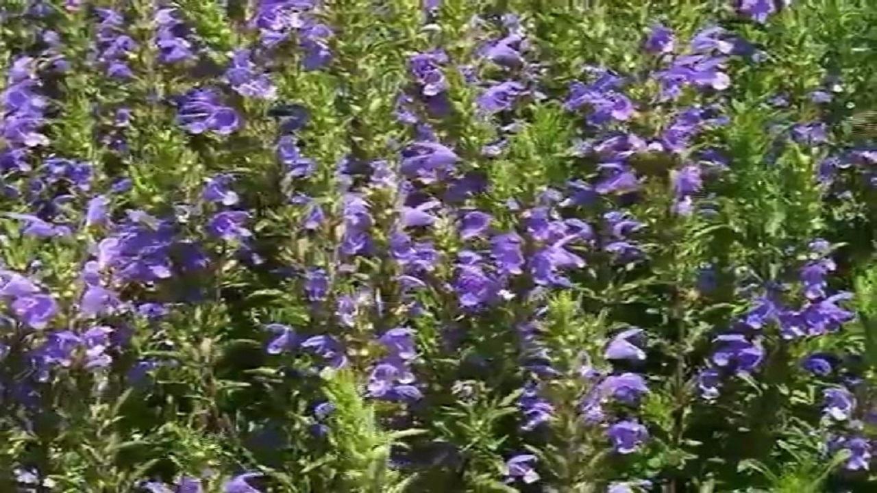 شناسایی ۴۵۰ گونه گیاه دارویی در آذربایجان شرقی