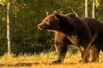 حمله ور شدن خرس به یک چوپان در ارتفاعات پیرانشهر