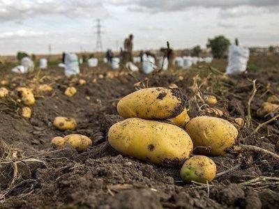 ظرفیت صادرات ۱۰۸ هزار تن سیبزمینی در آذربایجانشرقی مهیا است/شهرستان ها بناب با ۳۶ هزار تن دومین شهر تولید کننده سیب زمینی استان